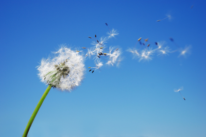 istockphoto_3537940-dandelion-clock-dispersing-seed-with-blue-sky-in-the-background-paid-for